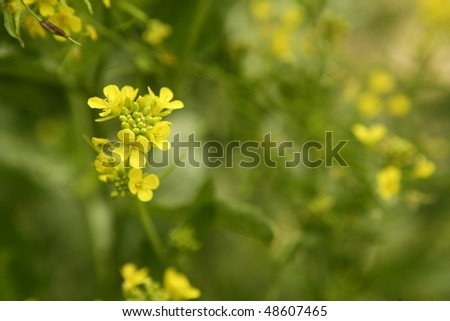 Mustard flower Sinapis Aiba yellow flowers and plant, nature - stock photo
