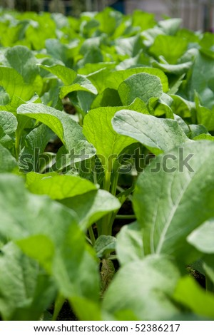 Mustard greens at a vegetable farm. Selective focus.