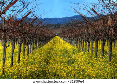 Mustard plants and grapevines at a vineyard - stock photo