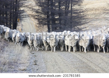 mustering sheep in the South Island of New Zealand - stock photo