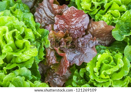 mutated red lettuce in the garden with green lettuce together - stock photo