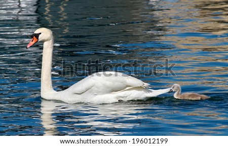 Mute swan and baby (cygnus olor) floating on waterlake by springtime - stock photo