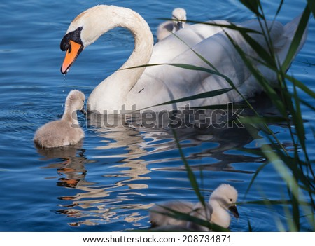 Mute swan and young family - stock photo