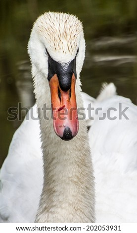 Mute swan close up, the Netherlands - stock photo