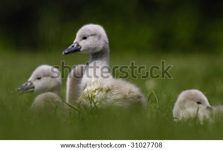 Mute swan cygnets - stock photo