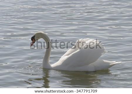 Mute Swan [Cygnus olor] - stock photo