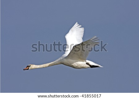 Mute Swan (Cygnus olor) in flight