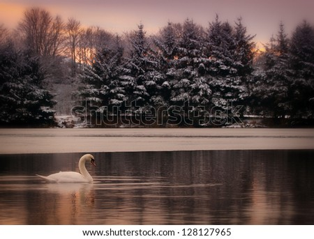 Mute Swan (Cygnus olor) on a wintry Forfar Loch, Angus, Scotland. - stock photo