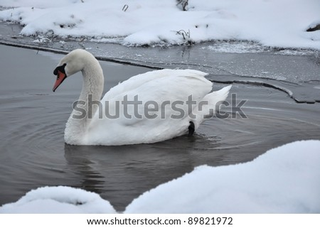 Mute swan (Cygnus olor) on the river in the cloudy winter day - stock photo