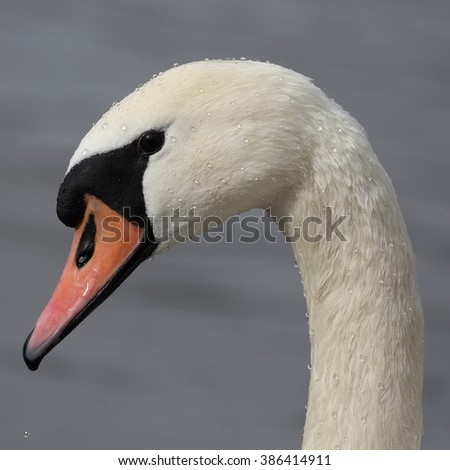 Mute swan (Cygnus olor) - portrait from a profile. Covered with drops of water. - stock photo