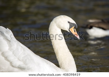 Mute swan (Cygnus olor) side on in profile, swimming on a Norfolk river in England, on a Sunny summer day. - stock photo