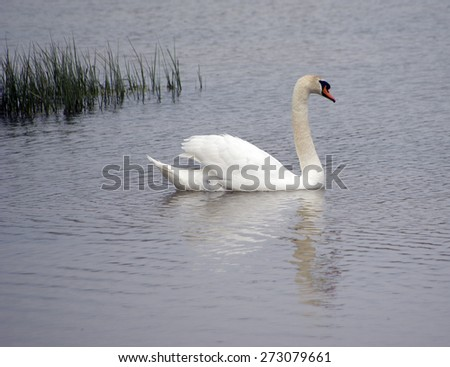Mute swan, Cygnus olor, single bird on water - stock photo