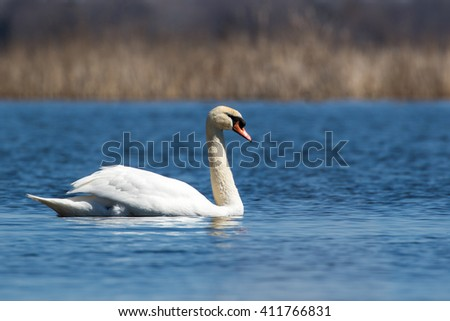 Mute Swan - Cygnus olor, swimming in a lake and making eye contact.  Background is blurred water and reeds. - stock photo