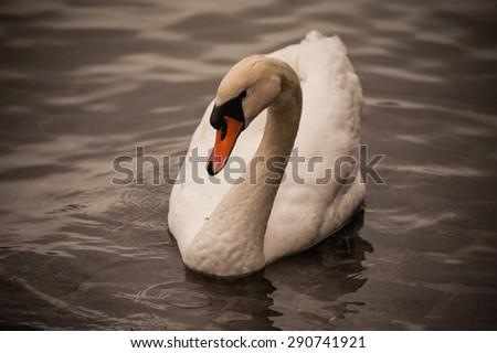 Mute swan Cygnus olor swimming in lake water - stock photo