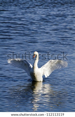 Mute Swan (Cygnus olor) with wings outstretched on blue water - stock photo