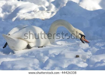 mute swan (cynus olor) in a winter scene - stock photo