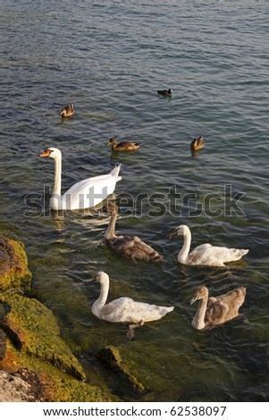 Mute swan family (Cygnus olor) with young swans and ducks in Italy, Europe