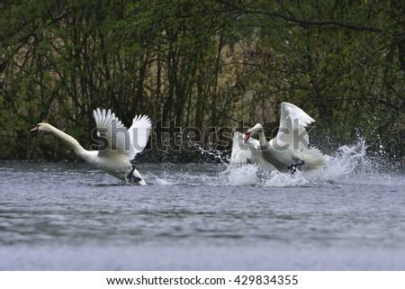 Mute swan in fight - stock photo