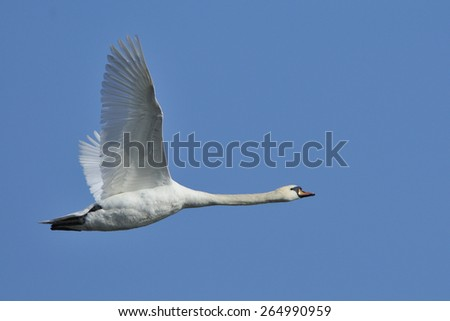 mute swan in flight - stock photo
