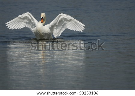 Mute Swan in the approach. - stock photo
