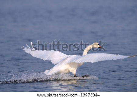 Mute Swan landing on the sea