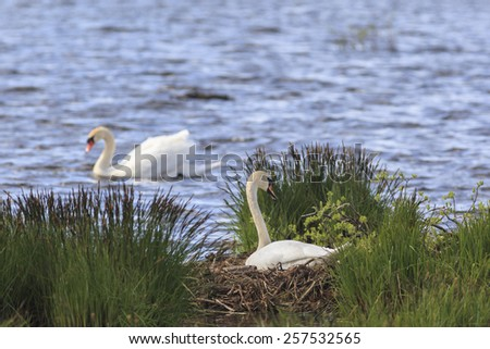 Mute Swan nests in the lake - stock photo