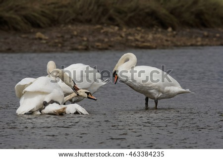Mute Swan - Old birds torturing a young bird.