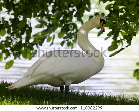 Mute swan on glade under the tree. Close-up view. - stock photo