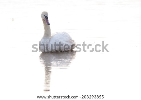 Mute Swan on ice, contre jour - stock photo