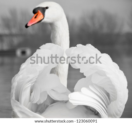 Mute Swan portrait - stock photo
