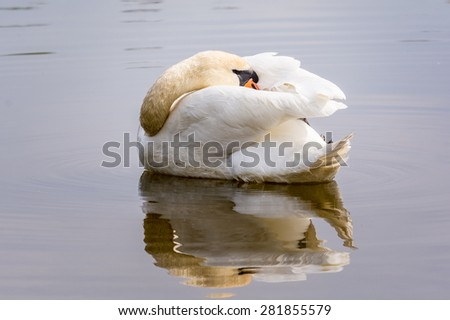 Mute swan preening in calm water with  beautiful reflection. - stock photo