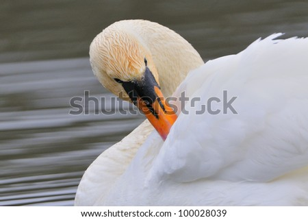 Mute swan preening in the water. - stock photo