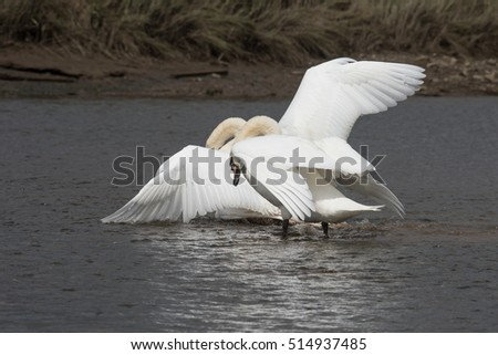 Mute Swan, Swans - fight.