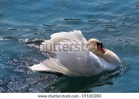 Mute Swan Swimming - stock photo