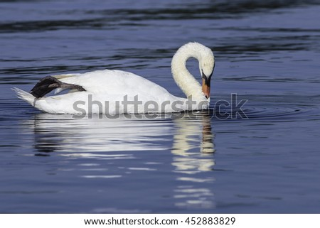 mute swan swimming and grooming in a calm deep blue lake reflecting in the still water
