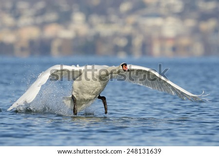 Mute Swan taking of, with village in background. - stock photo