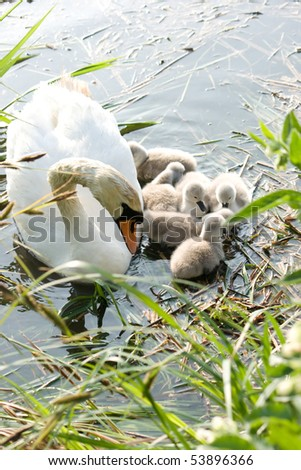 Mute swan with cygnets on nature reserve in Weymouth Dorset uk.