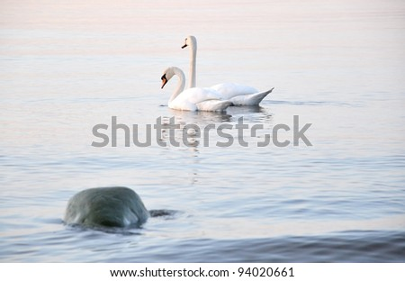 Mute swans (Cygnus olor) on the Baltic sea in the spring evening, Estonia - stock photo