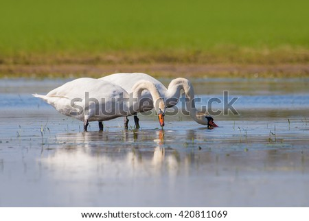 Mute swans foraging in shallow water