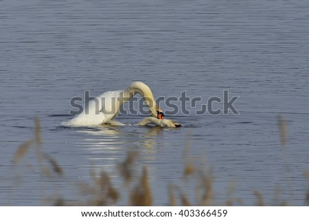 Mute swans in mating - stock photo