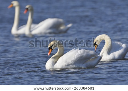 Mute swans on lake in the spring - stock photo