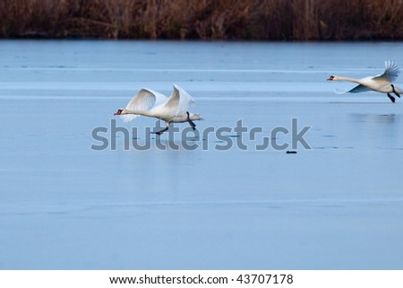 Mute Swans taking off - stock photo