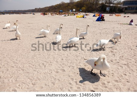 Mute swanse on the main beach in Kolobrzeg, Poland