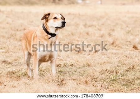 Mutt of Labrador and German Shepherd on dry grass - stock photo