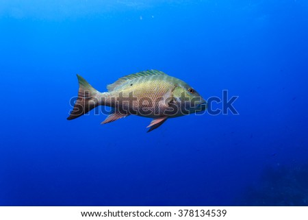 Mutton snapper fish, lutjanus analis, swimming in blue water