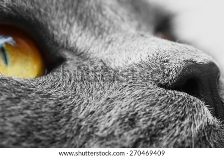 Muzzle detail of British shorthair cat (British Blue cat) - domesticated cat whose features make it a popular breed in cat shows. - stock photo