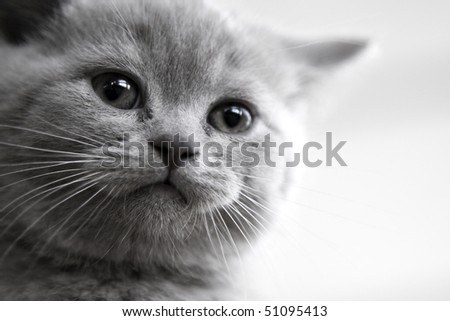 Muzzle little pedigree British kitten - stock photo