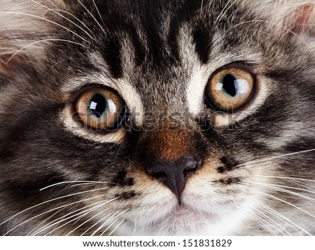 Muzzle of a striped cat with yellow eyes. Fluffy cat with brown eyes.  Striped not purebred kitten. Kitten on a white background. Small predator. Small cat.