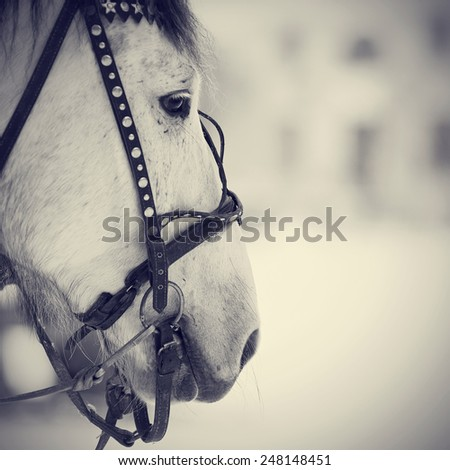 Muzzle of a white horse in a harness. Stallion. Portrait of a horse. Thoroughbred horse. Beautiful horse. - stock photo