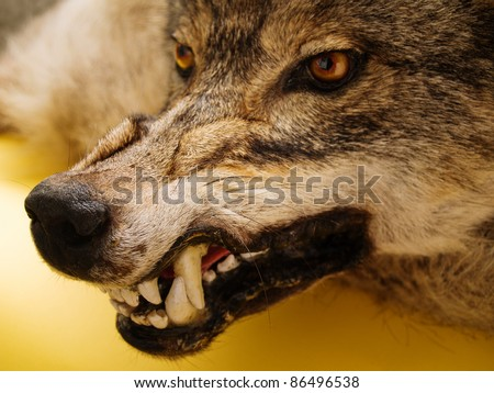 muzzle of a wolf over orange background - stock photo
